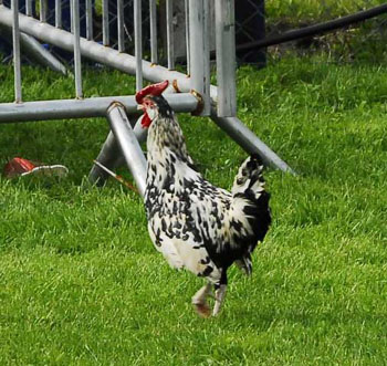 Poultry at Swinford agricultural show